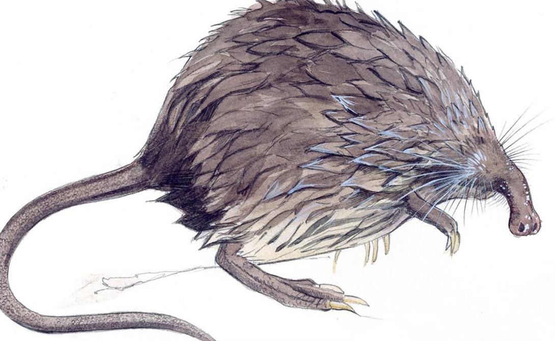 Пиренейская выхухоль Ближайшие родственники пиринейских выхухолей — кроты и землеройки. Пиринейская выхухоль обладает длинным как у Пиноккио носом, который млекопитающеесует во все найденные дыры в земле. Так выхухоль надеется найти себе пропитание.
