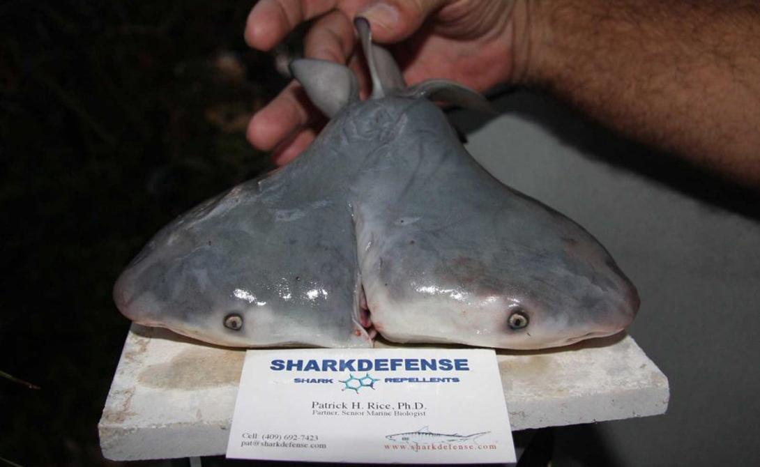 Жить или умереть Дэвид Шиффман, морской биолог и специалист по акулам, считает что вероятность встречи человека с двуглавой акулой ничтожно низка и может сравниться с шансами встретить инопланетянина на своем заднем дворе. Однако, он подтвердил, что найденный испанцами образец показывал вполне адекватное развитие и мог бы сформироваться во взрослую акулу.