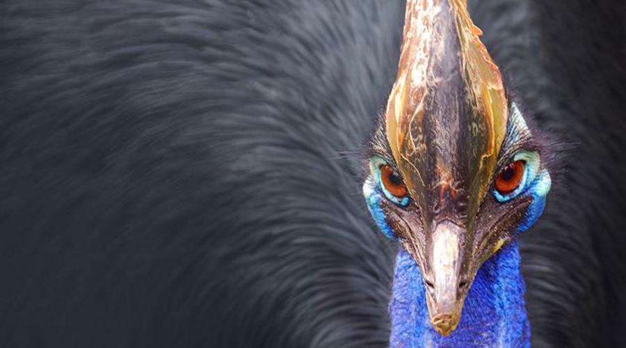 Казуар Эта птичка выглядит будто страус, принарядившийся к вечеринке. Казуар водится только в тропических лесах Австралии и Новой Гвинеи, но даже там встреча с ним будет скорее исключением из правил. Неприятнейшим, надо сказать, исключением. У казуаров очень развит территориальный инстинкт: обнаружив незнакомца на своих угодьях он становится крайне агрессивным. Убежать от птички, развивающей около 60 км/ч, нереально, так же как и выжить после удара ее лапы, украшенной изогнутыми, кинжально острыми когтями.