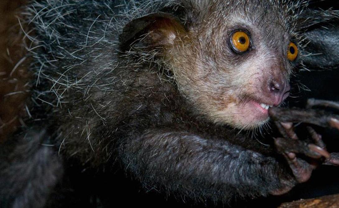 Мадагаскарская руконожка Этот лемур (Daubentonia madagascariensis) ведет ночной образ жизни и питается скрытыми под корой личинками. Длинный средний палец красавец использует для того, чтобы извлечь свои изысканные лакомства из укрытия.