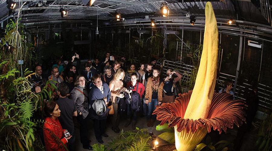 Аморфофаллус титанический Это самое высокое цветущее растение в мире. Три метра в высоту и ни одного цветка: Аморфофаллус в период цветения выделяет ужасный трупный запах, притягивающий мух и прочих падальщиков. Внешний вид цветочка вполне соответствует — представьте себе разлагающийся кусок мяса, вросший прямо в землю. Сейчас встретить этот странный цветок можно только в теплице, поскольку на родине, в лесах Суматры, его уже истребили.