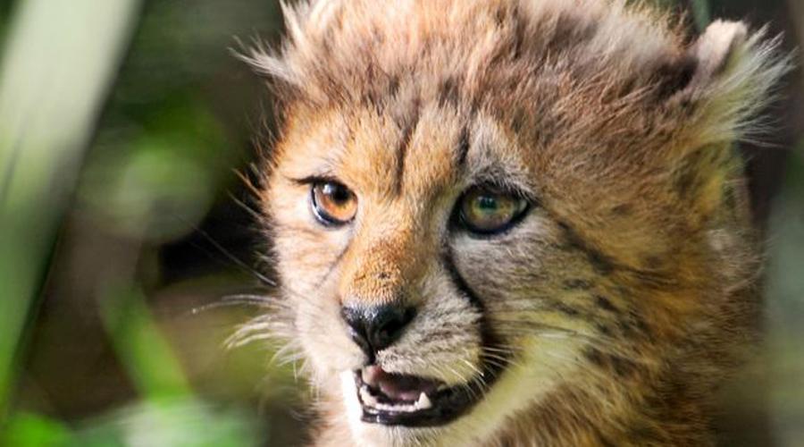 Большие кошки В подсемейство больших кошек (Pantherinae) входят пумы, гепарды, львы, ягуары и другие милые с виду, но смертельно опасные по существу животные отряда кошачьих. В Северной Америке пумы постоянно нападают на одиноких туристов и даже крадут из деревень маленьких детей.
