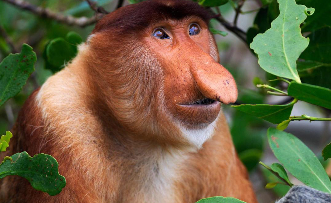 Носач Ученые назвали красавца «Обыкновенный носач» (Nasalis larvatus). В самом деле, что уж такого необычного в обезьяне с такой ординарной, не запоминающейся физиономией. Встречается носач только на острове Борнео, да и там редко: люди разрушили привычный ареал обитания этих обезьян и теперь вид медленно вымирает.