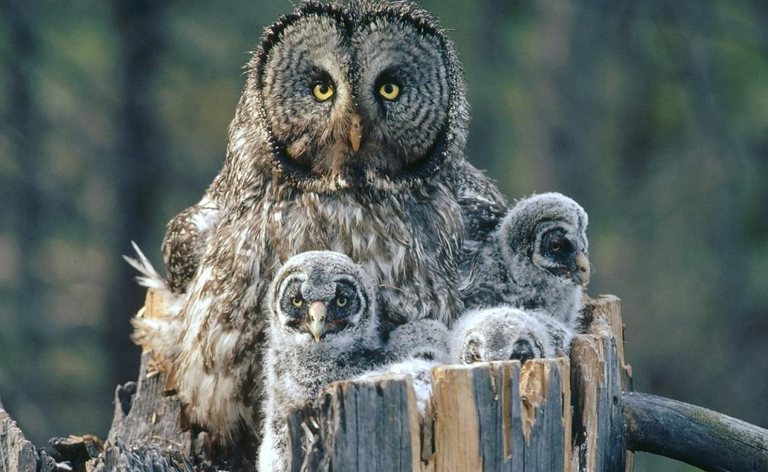 Бородатая неясыть Бородатая неясыть по праву считается крупнейшей в мире птицей из отряда сов. В длину неясыть может вырасти до 84 сантиметров. Ареал обитания птицы довольно широк: бородатая неясыть предпочитает таежные зоны и встречается на территориях от Сибири до Забайкалья.