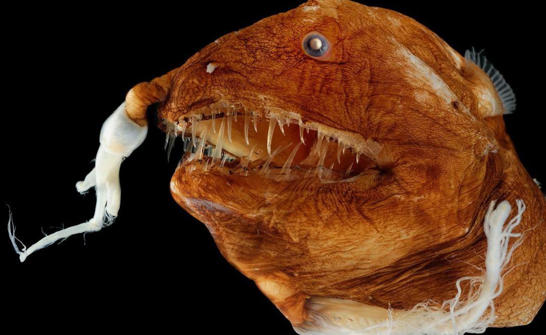 Европейский удильщик Популяция морских чертей подвида Linophryne arborifera постоянно сокращается — самки просто не хотят иметь дело с настолько уродливыми партнерами.
