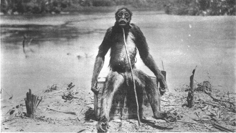 Обезьяна де Луа В 1920 году швейцарский геолог Франсуа Де Луа якобы столкнутся с парой агрессивных человекообразных обезьян. По словам геолога, он убил одну из них и посадил так, чтобы удобно было делать фотографию. По всей вероятности, на снимке хитрого швейцарца запечатлена обыкновенная коата, которая вовсе не отличается таким гигантским ростом.