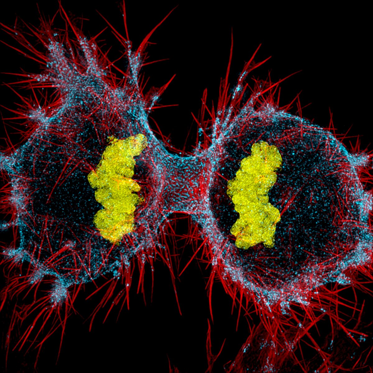 Деление кровяных клеток человека