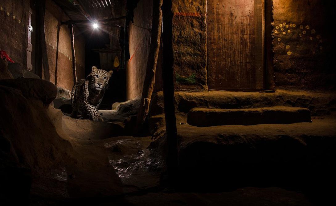 Бездомная кошка Санджай Ганди Национальный парк проходит вплотную к пригородам Мумбаи. Иногда леопарды проскальзывают сквозь охранные заслоны в сам город, чтобы поискать себе легкой добычи. Снимок повезло сделать индийскому фотографу Ганди, сразу же попавшему в шорт-лист премии.