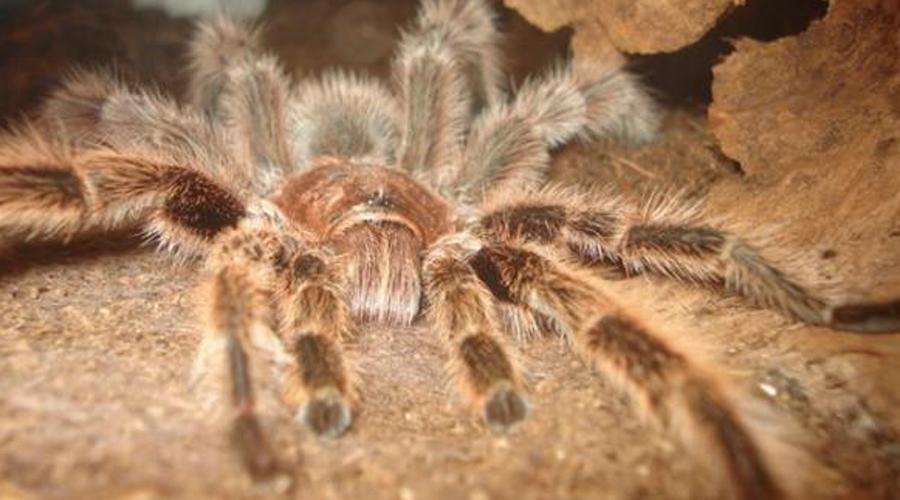 Гигантский бабуиновый паук Охотиться гигантский монстр предпочитает ночью. Его рацион составляют мелкие грызуны и птицы. Паук неприхотлив в еде и пожирает все, что встретит на своем пути. Размах лапок бабуинового паука может достигать целых 20 сантиметров.