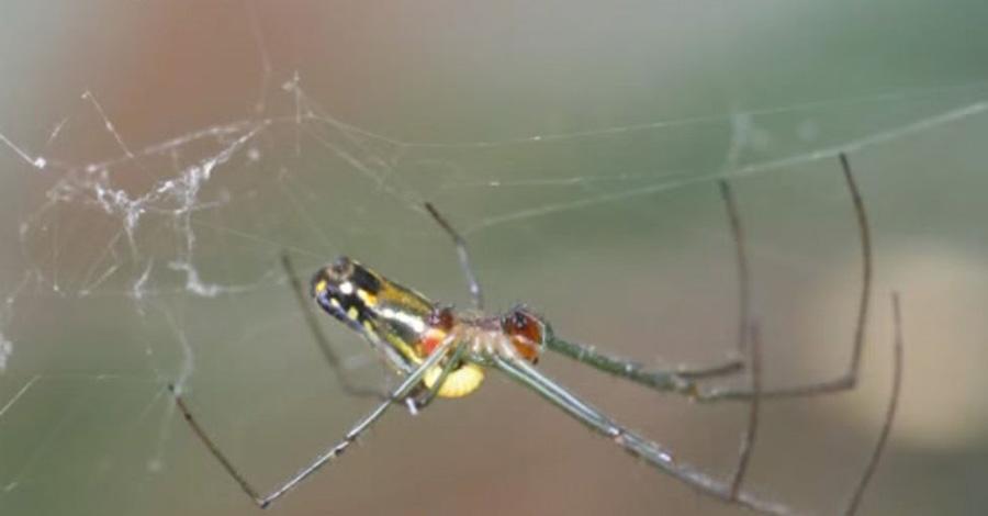 Оса-паразит Эндемик Коста-Рики с непроизносимым названием Hymenoepimecis argyraphag проводит свои дни в ловле пауков. Наездник парализует насекомое, откладывая ему в брюшко свои яйца. Следующие две недели личинка просто питается его соками, а потом выпускает специальные химикаты, полностью меняющие поведение паука: он начинает плести странную паутину, отпугивающую других хищников, а затем умирает.