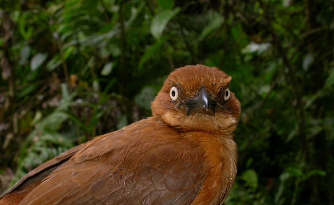 Ядовитые друзья На самом деле, ядовитые птицы уже встречались орнитологам в прошлом. К примеру, лесная сорокопутовая мухоловка и синеголовая ифрита Ковальди защищаются от опасности тем же самым ядом, батрахотоксином. Только после открытия питохуи ученые начали связывать рацион птиц с их необычными свойствами.