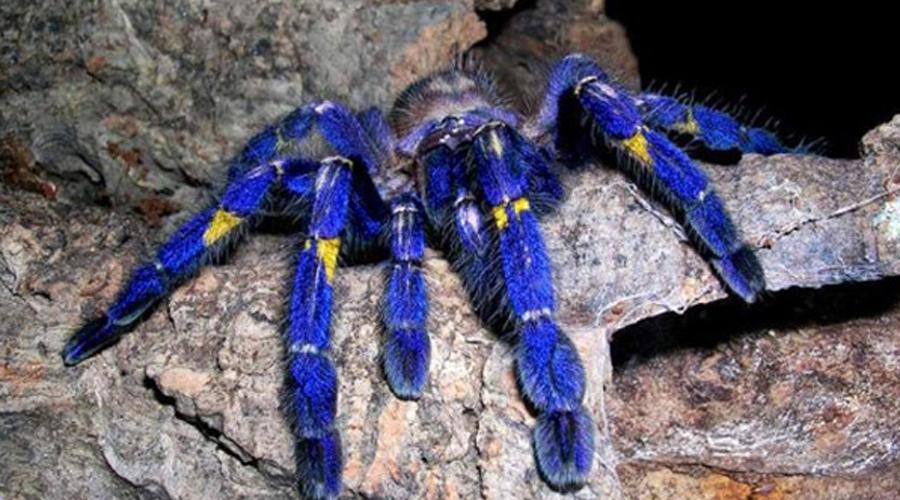 Фиолетовый птицеед Именно этот вид пауков чаще всего заводят любители экзотики. В природе яркий фиолетово-желтый красавец встречается в тропиках Южной Америки. Серьезные размеры (размах конечностей — до 20 сантиметров) позволяют птицееду чувствовать себя королем джунглей.