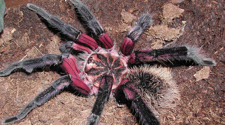 Лососево-розовый паук-птицеед Пусть вас не обманывает нежно-розовая окраска этой милой крошки. Самка птицееда может вырасти в тридцатисантиметрового монстра, вес которого будет превышать сотню грамм. Коллекционеры очень уважают этот вид птицеедов, поэтому в родной Бразилии паук находится под охраной «зеленых».