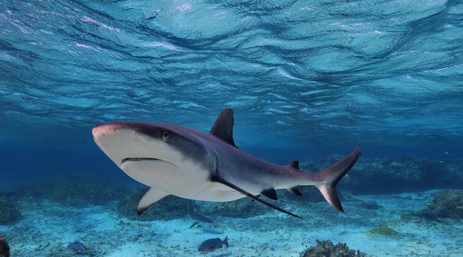 Нападение акулы Эмерсон советует две вещи: засунуть панику поглубже и сосредоточиться на атаке жаберных щелей хищника. Это, по сути, ваш единственный способ спастись. Даже без ножа можно просунуть руку в жабры, что причинит акуле невероятную боль.