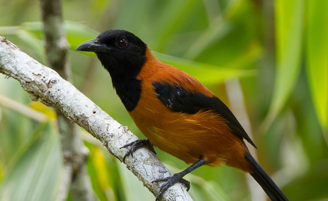 Предупреждающая окраска На самом деле, орнитологи довольно быстро оправились от шока и построили сразу несколько теорий, объясняющих возможную ядовитость и других видов птиц. В частности, яркую расцветку оперения связали с предупреждающим фактором — так птицы могли бы бороться с хищниками, предупреждая их об опасности.