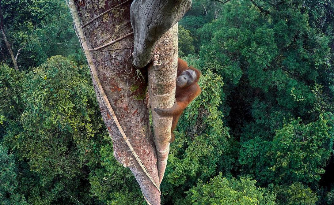 Скалолаз Тим Ламанл Молодой самец орангутанга забрался на тридцатиметровую высоту в поисках пропитания. Снимок был сделан в одном из немногих национальных парков Индонезии, где обретаются эти приматы, Гунунг Палунг.