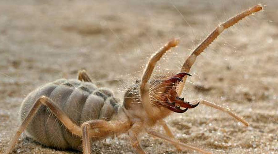 Верблюжий паук В погоне за добычей сольпуга развивает 16 км/ч. С размахом конечностей до 30 сантиметров верблюжий паук выглядит очень устрашающе. Встретить его можно в любой пустыне мира, кроме австралийских.
