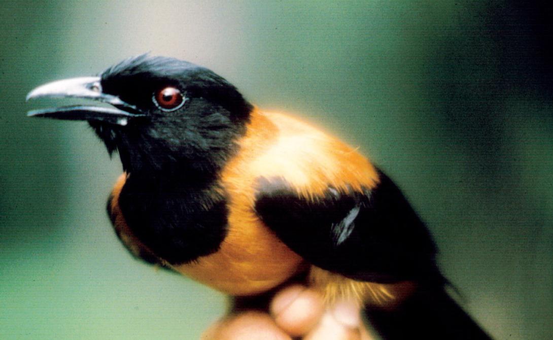 Откуда берется яд Питохуи питается насекомыми, причем предпочитает особых жучков-нанисани (Choresine pulchra), встречающихся только в местных лесах. Именно нанисани вырабатывают тот самый яд, который затем попадает в организм питохуи. Батрахотоксин постепенно выводится из тела птицы через поры в коже, а сама дроздовая мухоловка выработала против яда иммунитет.