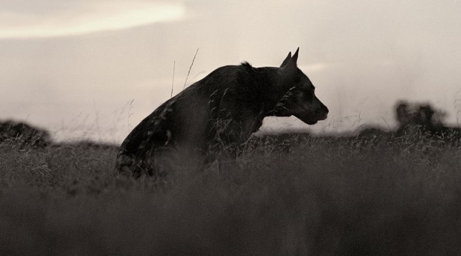 Нападение диких собак Эта ужасная и пугающая история заставила взяться за оружие чуть ли не всю Австралию. 17 августа 1980 год семья Линди Чемберлен отправилась на уикенд в глубину Северных территорий, что неподалеку от Айрес-Рок. Разбив лагерь, взрослые отправились за дровами и водой. За старшего остался 10-летний Рейган Чемберлен, присматривавший за своей младшей сестрой, 4-летней Азарией. В сумерках к лагерю подкралась небольшая стая диких собак динго, одна из которых улучила момент и выхватила спящую Азарию прямо из палатки. На поиски ребенка выдвинулись несколько полицейских отрядов, но динго как в воду канули. В отместку местные жители устроили диким собакам настоящую резню, практически полностью уничтожив все поголовье в регионе. Тело Азарии никогда не было найдено.