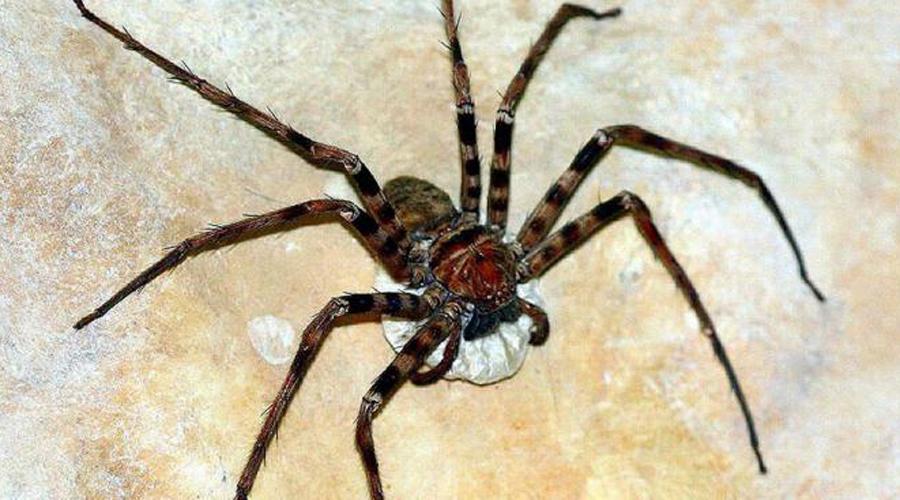 Гигантский крабовый паук Один вид крабопаука способен вызвать глубокий обморок у любого арахнофоба. Впрочем, укус паука для человека не опасен. Размах конечностей у представителей этого вида достигает 32 сантиметров, а передвигается он с внушительной скоростью.