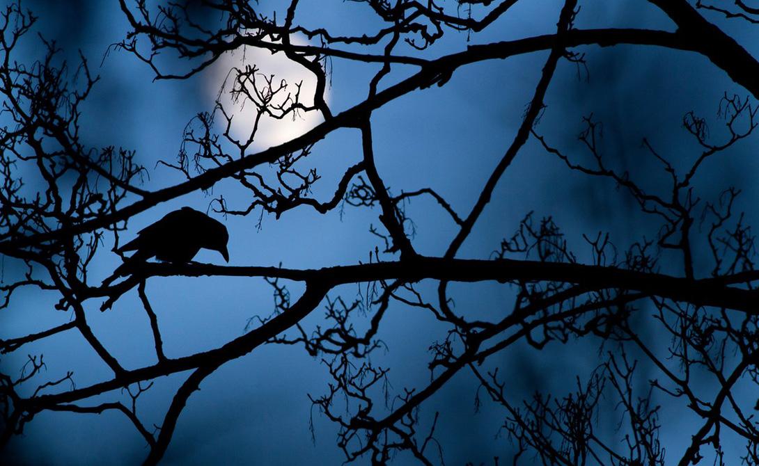 Луна и ворона Гедеон Найт Ворона на дереве в парке идеально легла на синевато-призрачный фоновый свет луны. Эта фотография вполне могла бы стать иллюстрацией знаменитой поэмы Эдгара По «Ворон».