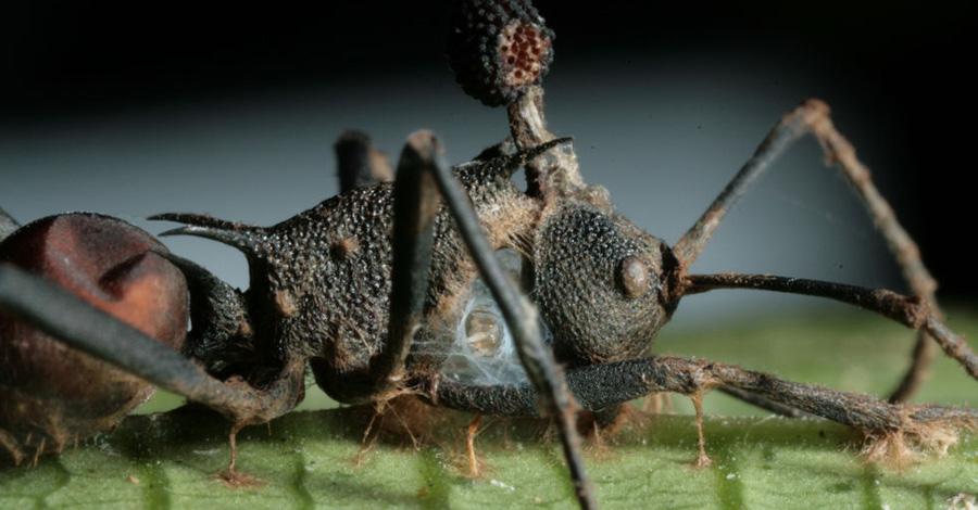 Кордицепс однобокий Этот вид грибов паразитирует на муравьях. Кордицепс изменяет поведение хозяина: зараженный муравей забирается на высоту в полметра, здесь закрепляется на листе и ждет, пока гриб прорастает сквозь все его тело. Кутикула муравья превращается в защитный футляр для гриба.
