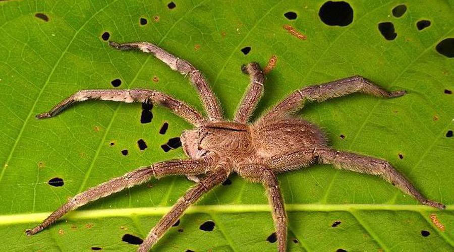 Бразильский странствующий паук Длинна тела этого паука составляет внушительные 17 сантиметров. Свою жертву хищник предпочитает выслеживать. Для человека его яд опасен. На родине, в Южной Америке, представитель вида Phoneutria Brazil может с легкостью поймать и убить небольшую птицу.