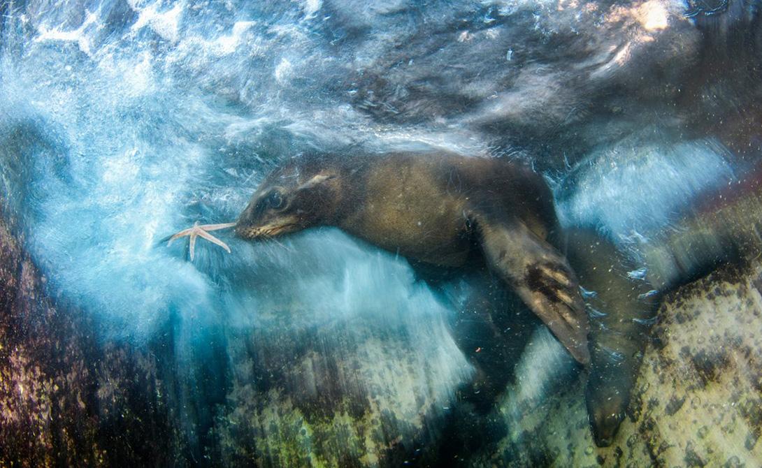 Звездный игрок Луис Хавьер Сандоваль Популяция морских львов в Калифорнийском заливе всегда привлекала толпы туристов. Луис Сандоваль поймал в кадр игривого щенка морского льва, нырнувшего в поисках пропитания.
