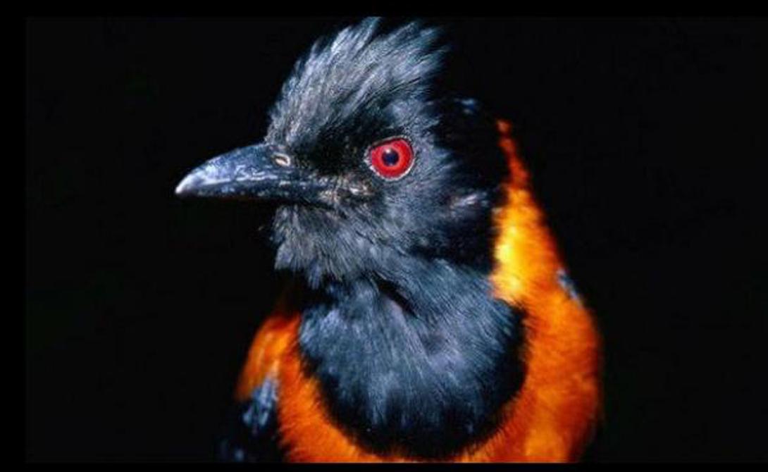 Неожиданное открытие Змеи, некоторые насекомые и лягушки давно приняли яд в качестве своеобразного средства нападения и защиты. Однако ученые не считали, что птицам может быть свойственно такая же странная особенность. Так что открытие Дамбейкера стало настоящим сюрпризом для всего ученого сообщества.