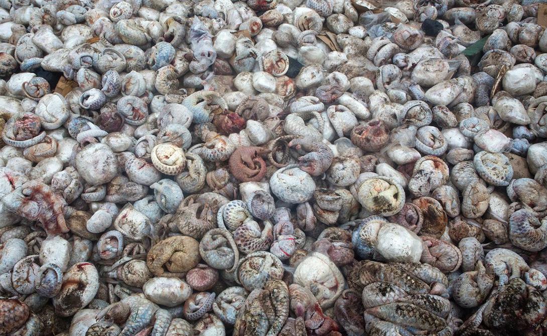 Яма панголин Пол Хилтон На этой фотографии Пол Хилтон запечатлел тушки более 4000 панголин. Пять тонн экзотического мяса, предназначено для рынков Китая и Вьетнама