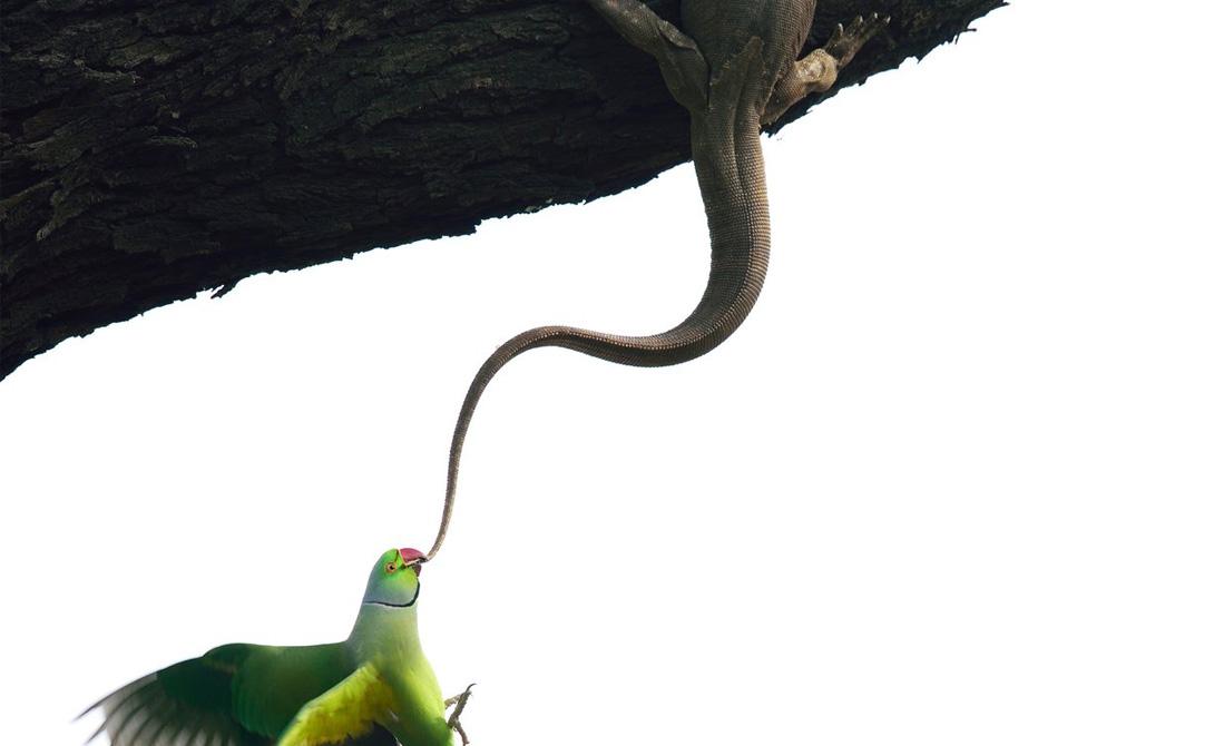 Попытка выселения Ганеш Шанкар Индийский розовый попугай вернулся к месту своего гнездования и обнаружил скваттера-варана. Птицы два дня вытаскивали незваного гостя из своего гнезда, и в конце-концов добились своего.