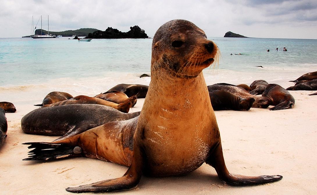 Морские львы Исследования показали, что морские львы обладают способностью мыслить логически. Фактически, эти удивительные создания способны провести довольно сложные параллели, вроде а = b и b = с, то а = с.