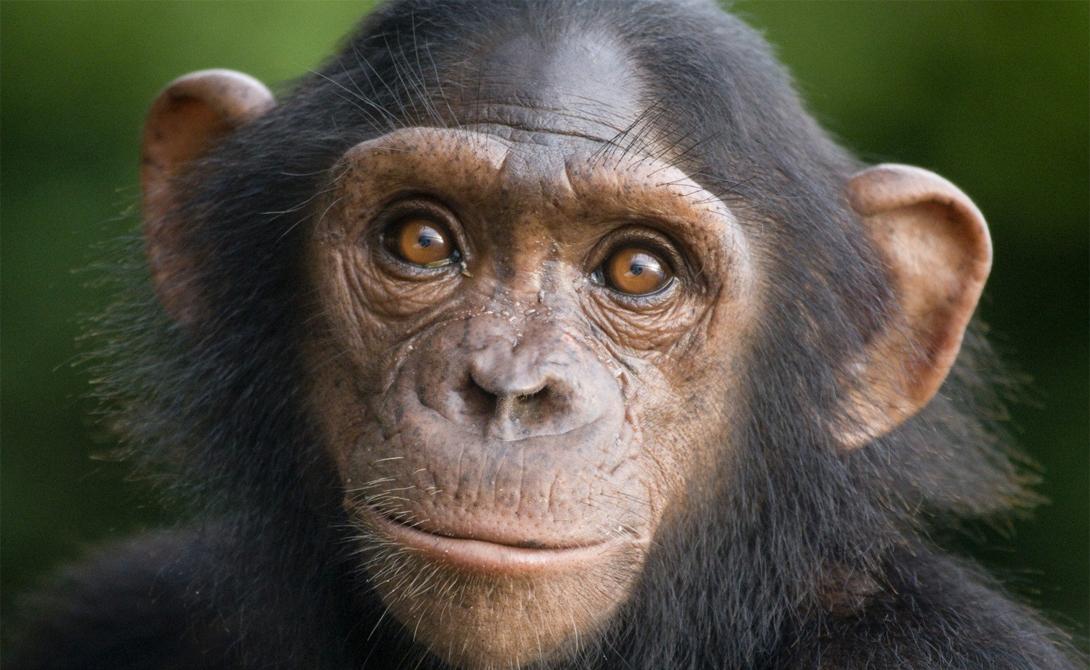 Шимпанзе И замыкает наш список опять обезьяна. Шимпанзе способны не только использовать инструменты для помощи всему сообществу, но и проявляют завидные умения в манипуляции окружающими. По большому счету, именно шимпанзе считаются самыми умными животными на планете.