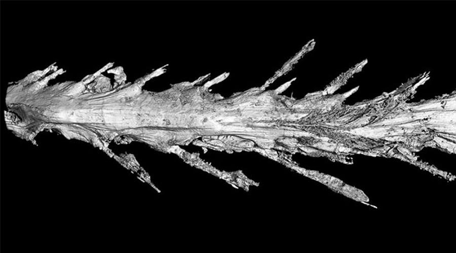 Анализ хвоста Микроскопический анализ образца показал восемь позвонков середины (а может и конца) длинного, тонкого хвоста. Биологи предполагают, что общая длина хвоста составлялась из 25-30 позвонков. Удивительно, что находка такого уровня была сделана не в полевых исследованиях, а на обычном рынке. Впрочем, ученые давно знают о том, что застывший янтарь может стать бесценным кладезем информации — вспомните, хотя бы, сюжетную линию «Парка Юрского периода».