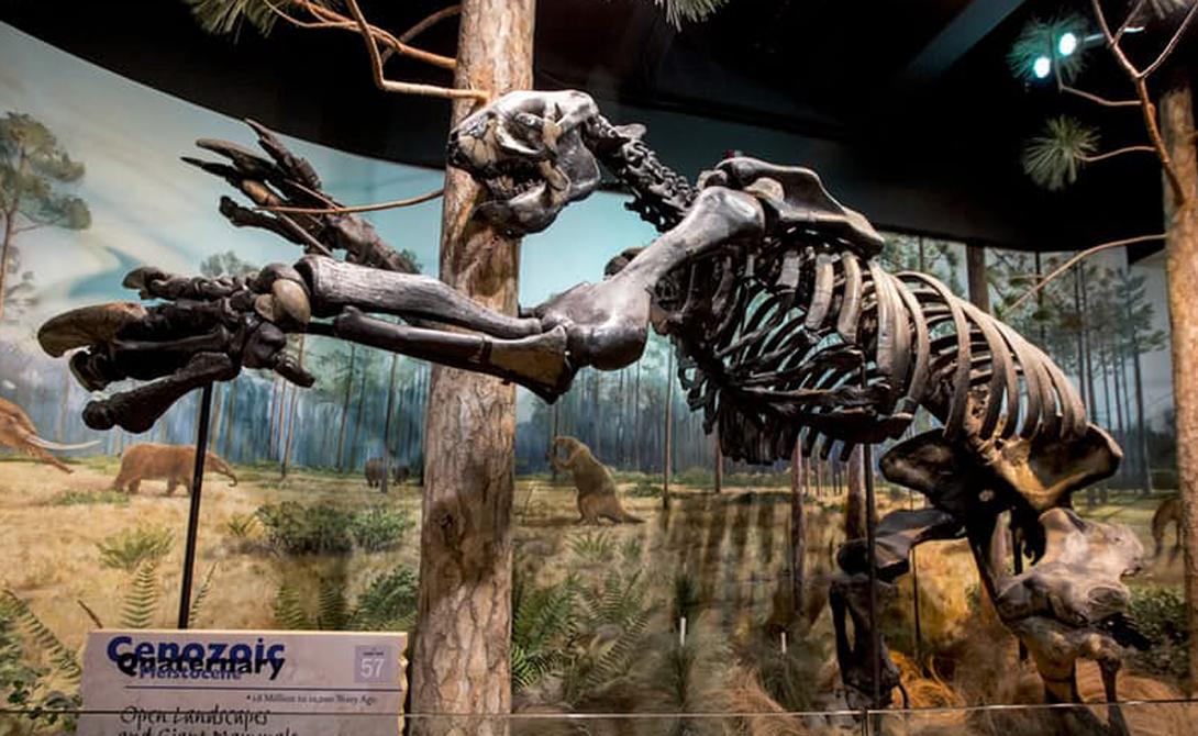 Мегатерий Современные ленивцы — не более, чем милые и бесполезные зверушки, проводящие все свое время в сладостной дреме. Ученые до сих пор ломают головы над тем, как могли эти зверьки произойти от гигантского мегатерия, длина которого от головы до хвоста составляла 10 метров, а вес достигал 4 тонн. Палеонтологи выяснили, что мегатерий ходил на двух ногах и питался древесными листьями.
