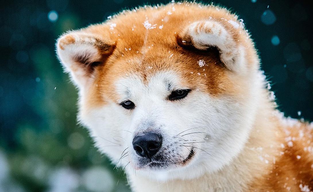 Собаки Хотя уровень интеллекта разнится в зависимости от породы, в целом собаки на порядок умнее других животных. Большинство пород собак, таких как лабрадоры и бордер-колли, очень любопытны и быстро замечают малейшие изменения в окружающей среде. Кроме того, следует учитывать и уровнь эмоционального интеллекта, который делает их лучшими друзьями человека.