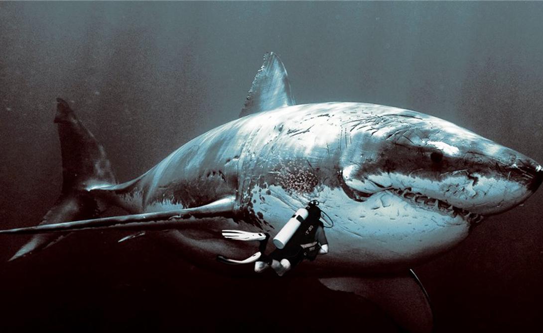 Мегалодон Длина большой белой акулы может достигать 9 метров, что делает встречу с ней в океане весьма неприятным сюрпризом для любого дайвера. Но мегалодон вырастал до колоссальных 20 метров — живи он сегодня, и мореходство стало бы очень, очень опасным занятием.