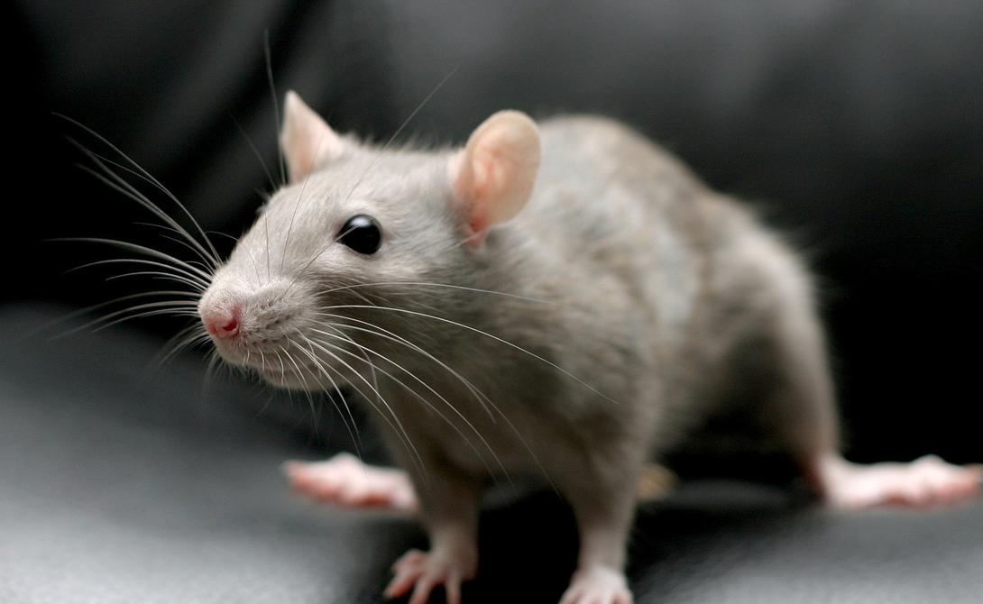 Крысы Короли адаптации и обладатели весьма хорошей памяти. Конечно, мы относимся к этим неприятным зверькам с известной долей пренебрежения, но недооценивать их умственные способности тоже не стоит.