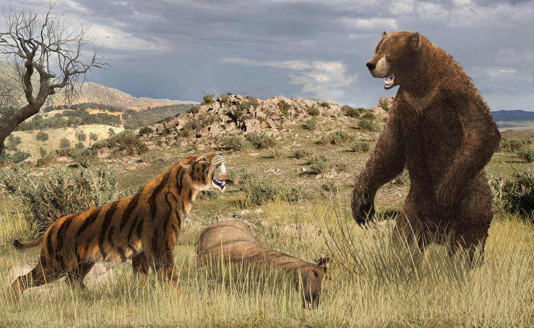Арктодус В настоящее время самыми крупными медведями на планете считаются Белый медведь и Аляскинский Кадьяк. Оба зверя кажутся зарисовкой Винни-Пуха по сравнению с древним гигантом Арктодусом, вес которого достигал тонны. Этот невероятный медведь жил во времена Ледникового периода, около 11 700 лет тому назад.