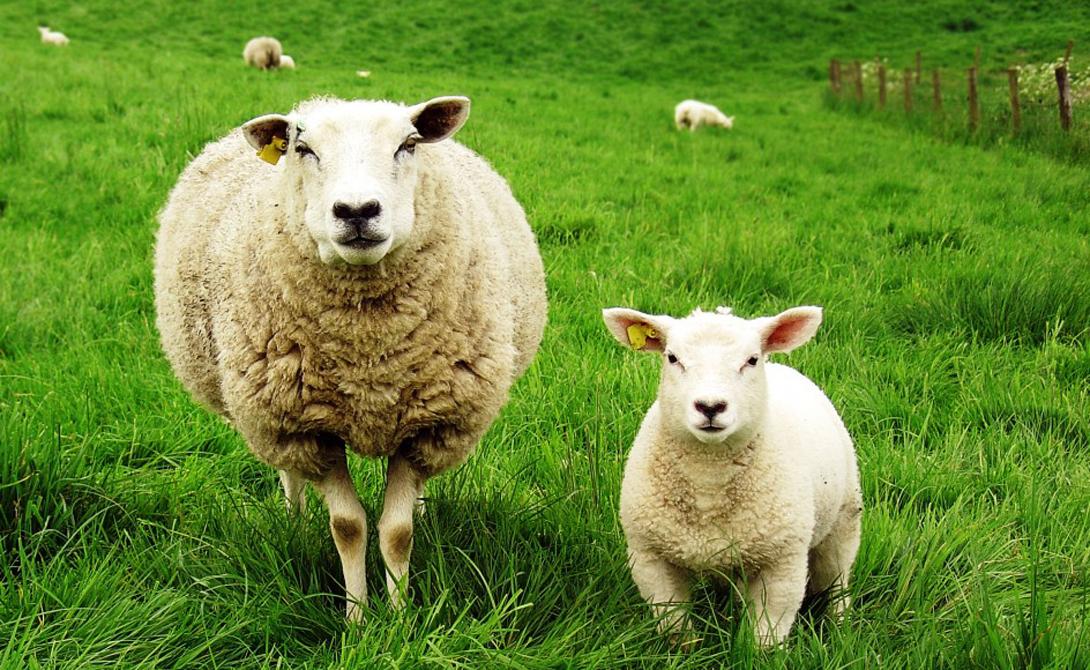 Овцы Не стоит считать овец глупыми: эти животные способны демонстрировать широкий диапазон эмоций и очень быстро реагируют на смену окружающей обстановки. Кроме того, именно овцы обладают лучшей памятью среди всех животных.