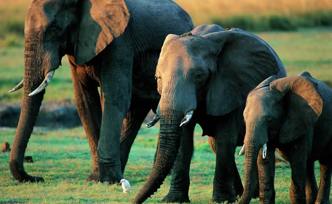 Слоны Эти животные используют свои мозги, чтобы создавать и обрабатывать сложные социальные взаимодействия. Слоны — признанные обладатели лучшей памяти среди всех зверей, и даже способны выказывать некоторую эмпатию.