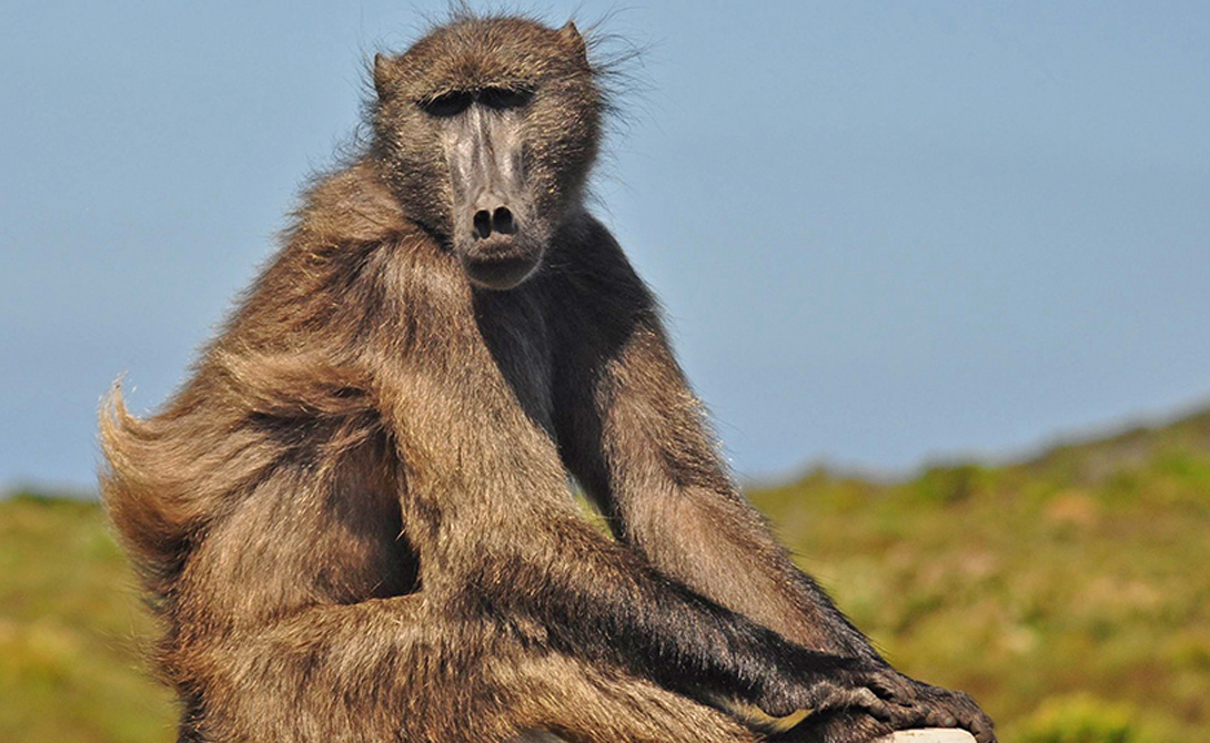 Павианы Когнитивные способности павианов весьма близки к тем, что выказывают шимпанзе. Кроме того, в отличие от других животных павианы умеют даже справляться со стрессом.
