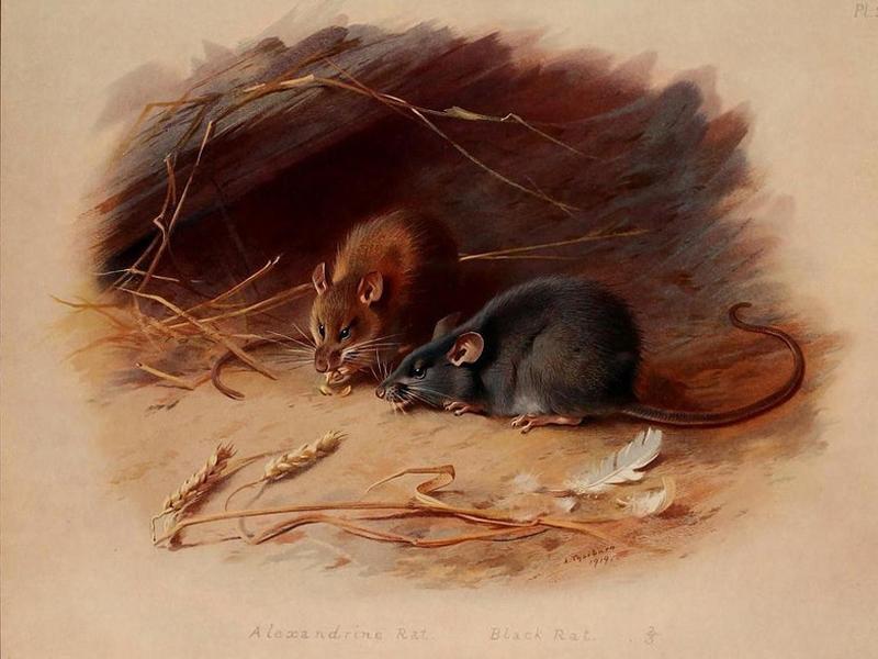 Мистификация Существует и вполне резонная версия о происхождении Крысиных королей. Многие криптозоологи считают их ничем иным, как мистификацией: нет ни одного подтвержденного доклада о живых созданиях, ну а останки вполне могут принадлежать мертвым крысам.
