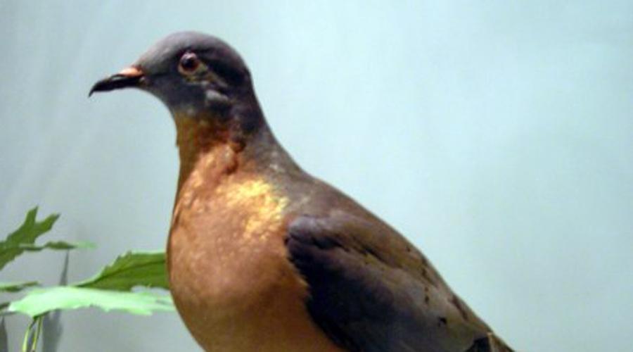 Голубь-пассажир Казалось, кого уж в достатке, так это голубей. В колониальные времена пассажирские или странствующие голуби водились в таких количествах, что их тяжесть не выдерживали деревья, если вдруг опускалась стая. Но последний голубь-пассажир умер в 1914 году. А их родственники живы, включая 17 голубей рода Patagioenas.