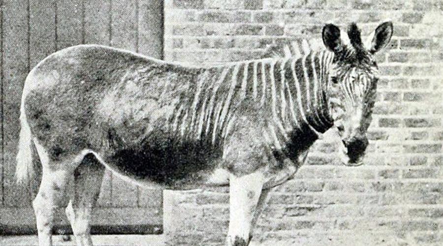 Квагги Этот вымерший вид равнинной зебры, Квагги, когда-то жил в Южной Африке. Последнего представителя вида не осталось в природе в 1870 году, а живший в неволе умер в 1883 году в зоопарке Амстердама. Теперь стартовал проект по возвращению этих зебр с уникальной раскраской.