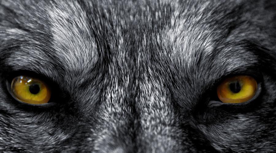 Парижские Волки Зимой 1450 года столицу Франции терроризировала стая волков-людоедов, насчитывавшая сорок голов. Животные пробрались в город сквозь проломы в стенах: улицы и проспекты окрасились кровью. Три месяца за странными, умными и неуловимыми волками гонялся весь Париж. В конце-концов, стаю загнали в переулок у Нотр-Дама, выход заложили хворостом и подожгли. Суеверные монахи сохранили пергаменты, где утверждалось, будто сгорая волки превращались в людей.