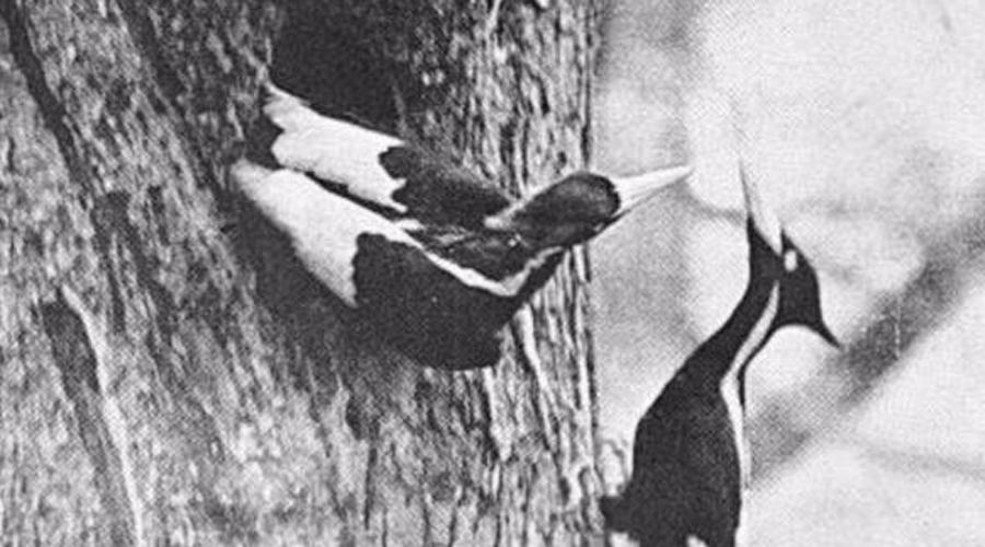 Белоклювый королевский дятел С 1940 года практически не было известий о белоклювом королевском дятле, когда-то населявшем девственные леса юго-востока США. В настоящее время учёными ведутся активные поиски этих птиц, для чего привлекаются специальные роботы-наблюдатели. А орнитологи Корнеллской лаборатории даже предложили награду в 50 тысяч долларов тем, кто смог бы привести исследователей к живому образцу.