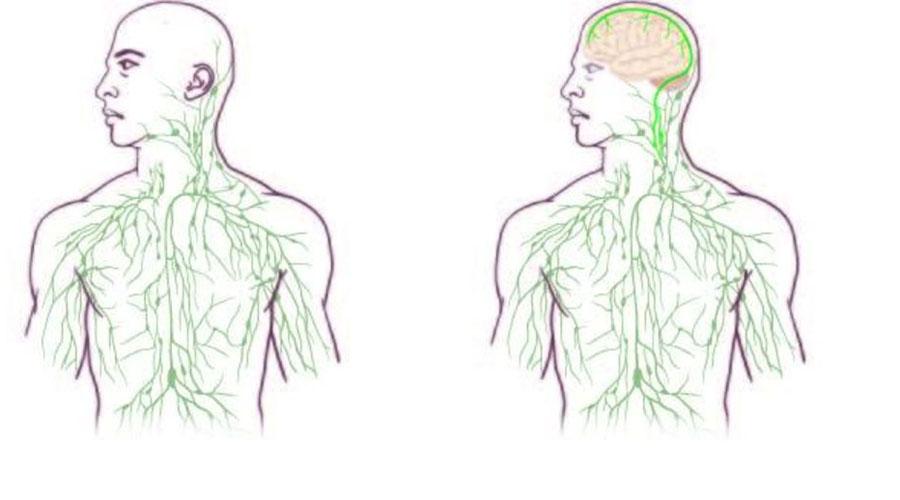 Лимфатические сосуды мозга Наше тело пронизано крошечными капиллярами — лимфатическими сосудами. Они нужны для борьбы с инфекцией и через них же идет удаление отмерших клеток. На протяжении многих веков ученые предполагали, что только мозг испытывает недостаток в этой прямой связи с иммунной системой. Однако, в конце 2015 года лабораторные исследования позволили обнаружить микроскопические лимфосистемы и в самом мозгу. Ученые надеются, что это открытие поможет нам лучше понять возникновение таких страшных и неприятных заболеваний, как болезнь Альцгеймера и рассеянный склероз.