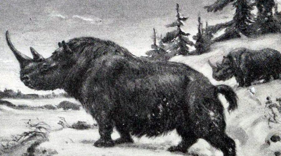 Шерстистый носорог Четырнадцать тысяч лет назад в период последнего в истории Земли оледенения на обширных просторах Европы и Азии обитал шерстистый носорог. Его теплая шкура отлично спасала от холода и стала объектом притязаний охотников каменного века. К тому же изменения в климате практически лишило этот вид носорогов корма, а давление человека довершило процесс вымирания. И все же шансы вернуть гиганта на планету есть, благодаря хорошо сохранившимся в условиях вечной мерзлоты Сибири экземплярам.