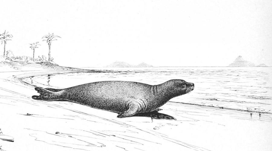 Карибский тюлень-монах Морским волком называли не только бывалых моряков, но и карибских тюленей-монахов. Их истребили из-за ценного масла. Морские волки тесно связаны с гавайскими и средиземноморскими тюленями-монахами.